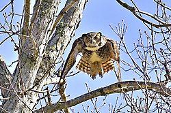 Great_Horned_Owl-6j.jpg