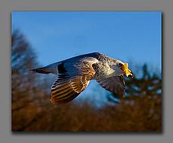 Gull31.jpg