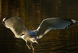 Gull_landing.jpg
