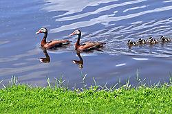 HH_Black_Bellied_Whistling_Ducks_Ducklings_5-30-20_10_.JPG