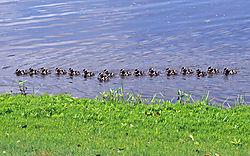 HH_Black_Bellied_Whistling_Ducks_Ducklings_5-30-20_12_.jpg