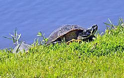 HH_Yellow_Bellied_Slider_Turtle_5-10-20_2_.JPG