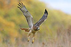 Hawk12.jpg