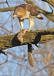 Hawk:.jpg