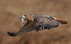 Hawk:prey.jpg