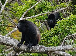 Howler_Monkeys_Monteverde_Costa_Rica_2.jpg