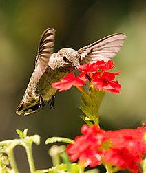 Hummingbird--21.jpg