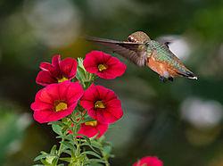 Hummingbird--3.jpg