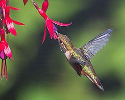 Hummingbird--4.jpg