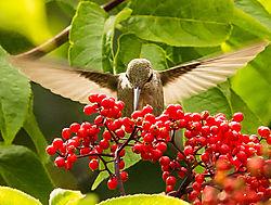Hummingbird-.jpg