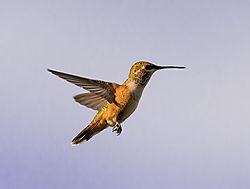 Hummingbird-2197.jpg