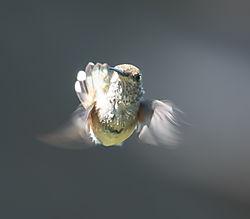 Hummingbird-2440.jpg