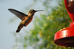 Hummingbird_14.JPG