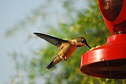 Hummingbird_23.JPG