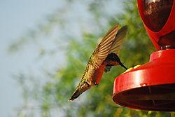 Hummingbird_32.JPG