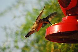 Hummingbird_4.JPG