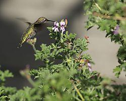Hummingbird_copy.jpg