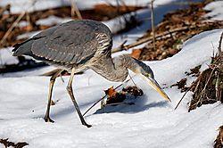 Hunting_Heron.jpg
