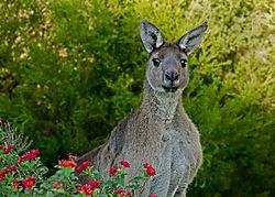 Kangaroo_005_e.jpg