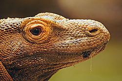 Komodo_Dragon-2.jpg