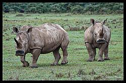 Lake_Nakuru_Rhino_22.jpg