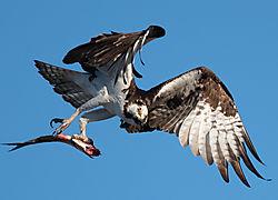 Landing_Osprey_Mom.JPG