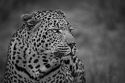 LeopardCloseup.jpg