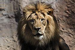 Lion_DSC_3478_1_of_1_.jpg