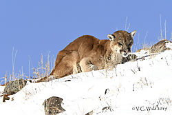Lion_SodaButteCone_DSC5229.jpg