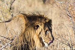 Lion_Tongue.jpg