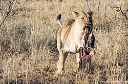 Lioness_with_Food.jpg