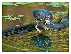 Little-Heron-2.jpg