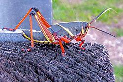 Lubber_grasshopper-tiff.JPG