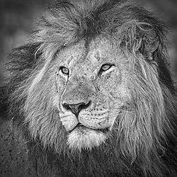 Male-Lion_Portrait_Monochrome.jpg