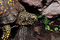 Male_Box_Turtle.jpg