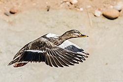 Mallard_Duck_Clear_Creek_Prospect_Park_Wheat_Ridge_Co_March_21_2014_JG1_1830.jpg