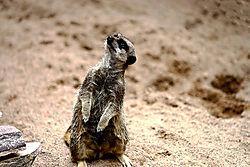 Meerkat_2079.jpg