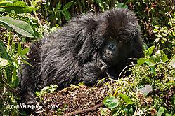 Mountain_Gorillas_Rwanda_1.jpg