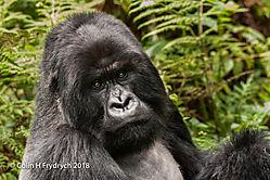 Mountain_Gorillas_Rwanda_11.jpg