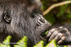 Mountain_Gorillas_Rwanda_12.jpg