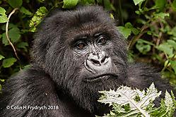 Mountain_Gorillas_Rwanda_14.jpg