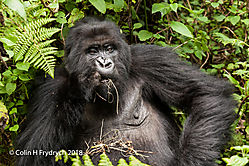 Mountain_Gorillas_Rwanda_15.jpg