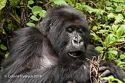 Mountain_Gorillas_Rwanda_17.jpg