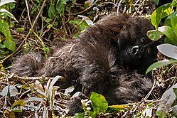 Mountain_Gorillas_Rwanda_2.jpg
