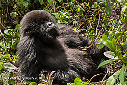 Mountain_Gorillas_Rwanda_3.jpg