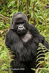 Mountain_Gorillas_Rwanda_4.jpg