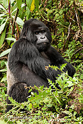 Mountain_Gorillas_Rwanda_5.jpg