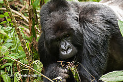 Mountain_Gorillas_Rwanda_7.jpg