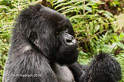 Mountain_Gorillas_Rwanda_9.jpg