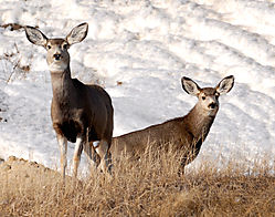 Mule_Deer1318.JPG